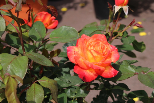 Rose rouge orange