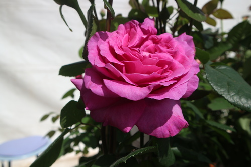 Rose fuschia