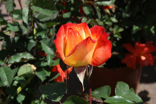 Rose jaune, liseret rouge